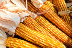 Yellow corn harvested royalty free stock images