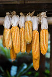 The yellow corn hung up for drying Royalty Free Stock Photos