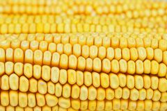 Yellow corn kernels for background Stock Photos