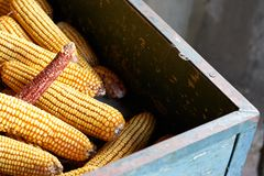 Corn in a rustic container stock image