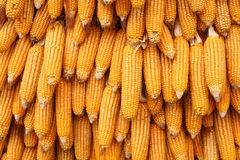 Yellow corn seeds is raw material food produce Royalty Free Stock Image