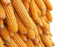 Yellow corn seeds is raw material Royalty Free Stock Photos