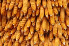 Yellow corn seeds is raw material produce Stock Photography