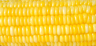 Yellow corn texture Stock Image