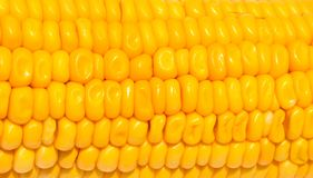 Yellow corn texture on white background. Sweet yellow corn seed closeup. Royalty Free Stock Images