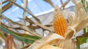 Yellow corncob on a corn stalk, indoors, with dried white peelings stock images