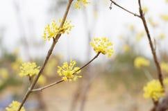 Yellow cornelian cherry flower Stock Photography