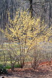 Yellow Cornelian Cherry Tree Royalty Free Stock Photography