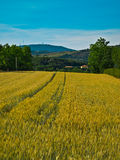 Yellow cornfield and blue sky. On background Stock Photo