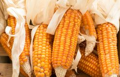 Corns in a basket. Yellow Corns in a basket Royalty Free Stock Image