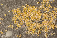 Yellow corns on earth in the chicken farm. Corn vegetable. Corn grains royalty free stock image