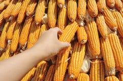 Yellow Corns hanging outdoor Stock Images