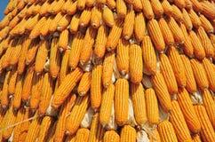Yellow Corns Stock Photo