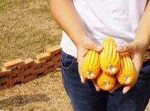 Yellow corns Stock Photos