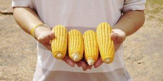 Yellow corns Stock Photography