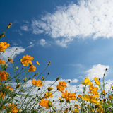 Yellow cosmos against blue sky Stock Images