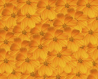 Yellow Cosmos Background. Stock Photo