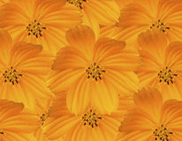 Yellow Cosmos Background. Royalty Free Stock Images
