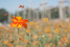 Yellow cosmos bloom in field Stock Image