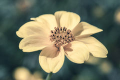 Yellow Cosmos. Royalty Free Stock Images