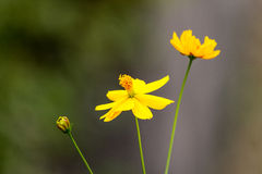 Yellow Cosmos Royalty Free Stock Photography