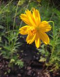 Yellow cosmos Stock Images