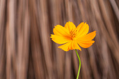 Yellow cosmos flowe Stock Image