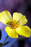Yellow Cosmos flower. Closeup of yellow Cosmos flower in bloom with dark background Royalty Free Stock Image