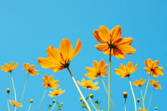 Yellow Cosmos flower. And blue sky Stock Images
