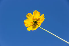Yellow Cosmos flower. And sky Stock Photo