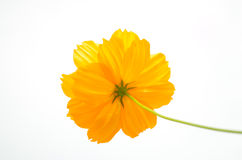 Yellow Cosmos flower Royalty Free Stock Image