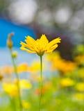 Yellow cosmos flower. Stock Photo