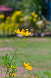 Yellow cosmos flower. Royalty Free Stock Image
