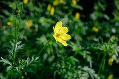 Yellow Cosmos flower is also known as Cosmos sulphureus or Sulfur Cosmos in the Saigon Zoo and Botanical Garden at Ho Chi Minh Cit Royalty Free Stock Photos