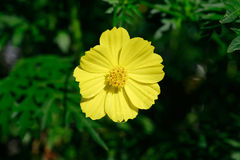 Yellow Cosmos flower is also known as Cosmos sulphureus or Sulfur Cosmos in the Saigon Zoo and Botanical Garden at Ho Chi Minh Cit Royalty Free Stock Photography