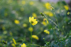 Yellow Cosmos flower is also known as Cosmos sulphureus or Sulfur Cosmos in the Saigon Zoo and Botanical Garden at Ho Chi Minh Cit Stock Photos