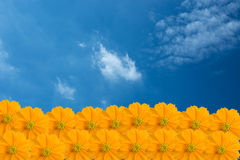 Yellow Cosmos flower as blue sky. And cloud royalty free stock image