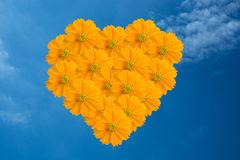 Yellow Cosmos flower as blue sky. Yellow Cosmos heart flower as blue sky stock photos