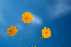 Yellow Cosmos flower as blue sky. Three Yellow Cosmos flower as blue sky royalty free stock images