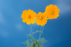 Yellow Cosmos flower as blue sky. Three Yellow Cosmos flower as blue sky stock photos