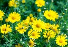 Yellow Cosmos flower. Stock Image