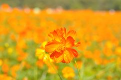 Yellow cosmos flower Royalty Free Stock Photography