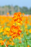 Yellow cosmos flower Stock Photography