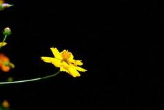 Yellow Cosmos flower black background Royalty Free Stock Photo