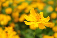 Yellow cosmos flower blossom focus on just a single flower Royalty Free Stock Image