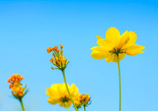 Yellow Cosmos flower . Royalty Free Stock Photo