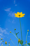 Yellow Cosmos flower Stock Images