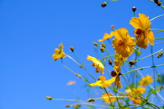 Yellow Cosmos flower and blue sky Stock Photos