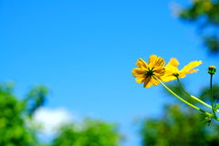 Yellow Cosmos flower and blue sky Stock Images