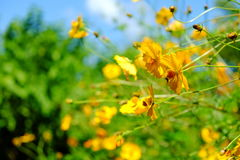 Yellow Cosmos flower and blue sky Stock Image